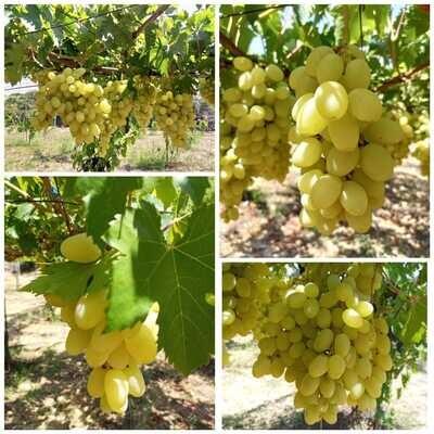 Grapes  عنب (Kg) - MBN Premium
