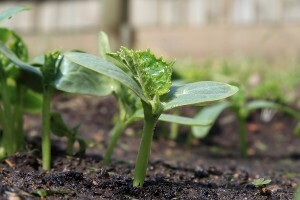 Armenian Cucumber مئتة (Seedling) - Nature by Marc Beyrouthy