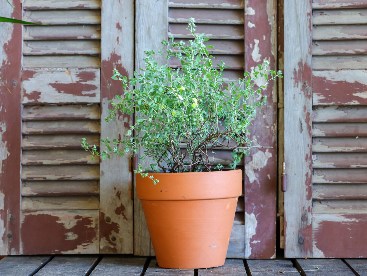 Marjoram مردكوش (Plant) - Nature by Marc Beyrouthy