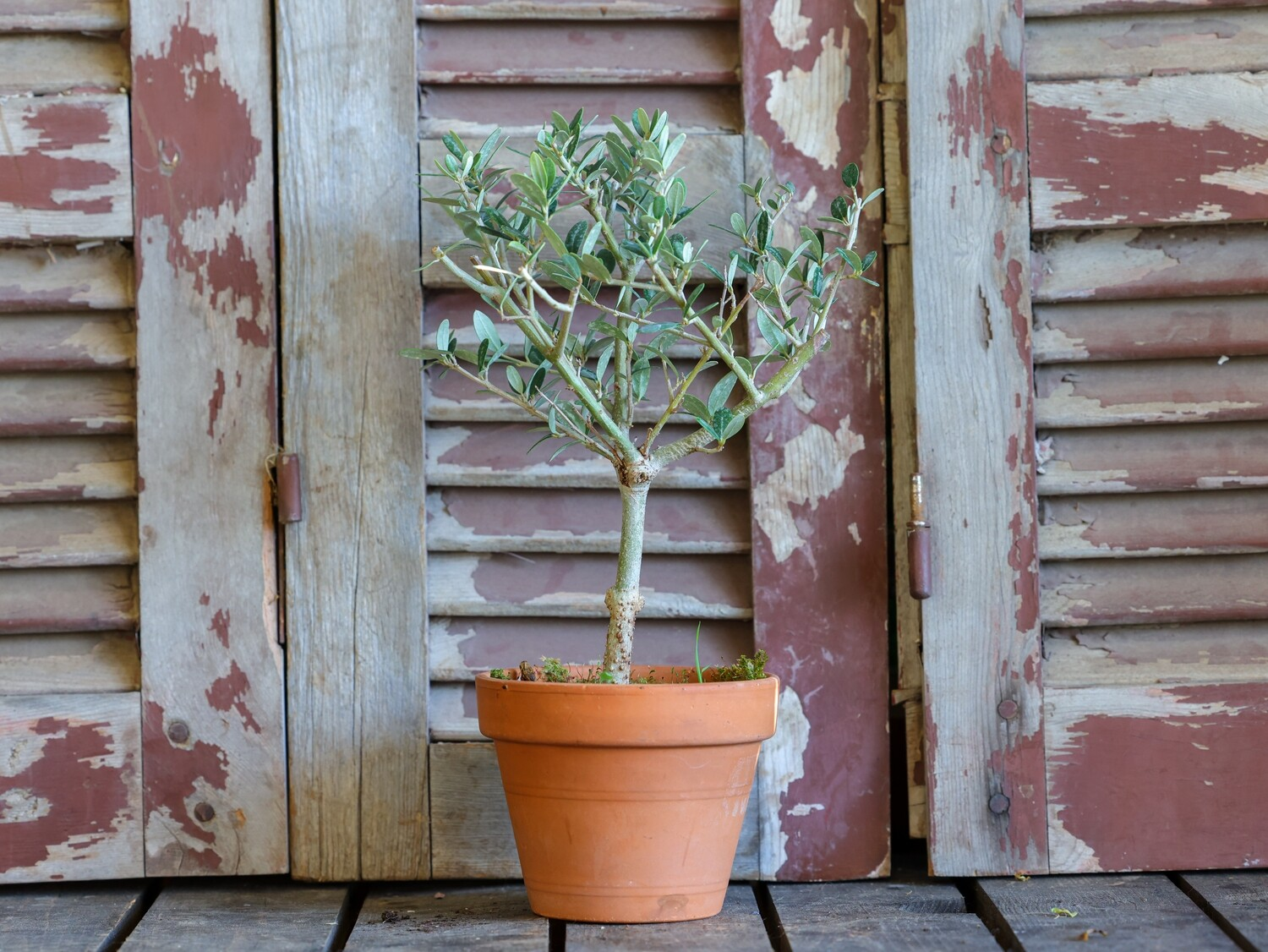 Bonsai Olive Fekhar (Plant) - Nature by Marc Beyrouthy