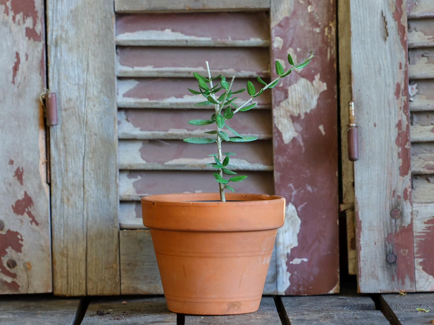 Bonsai Olive (Plant) - Nature by Marc Beyrouthy