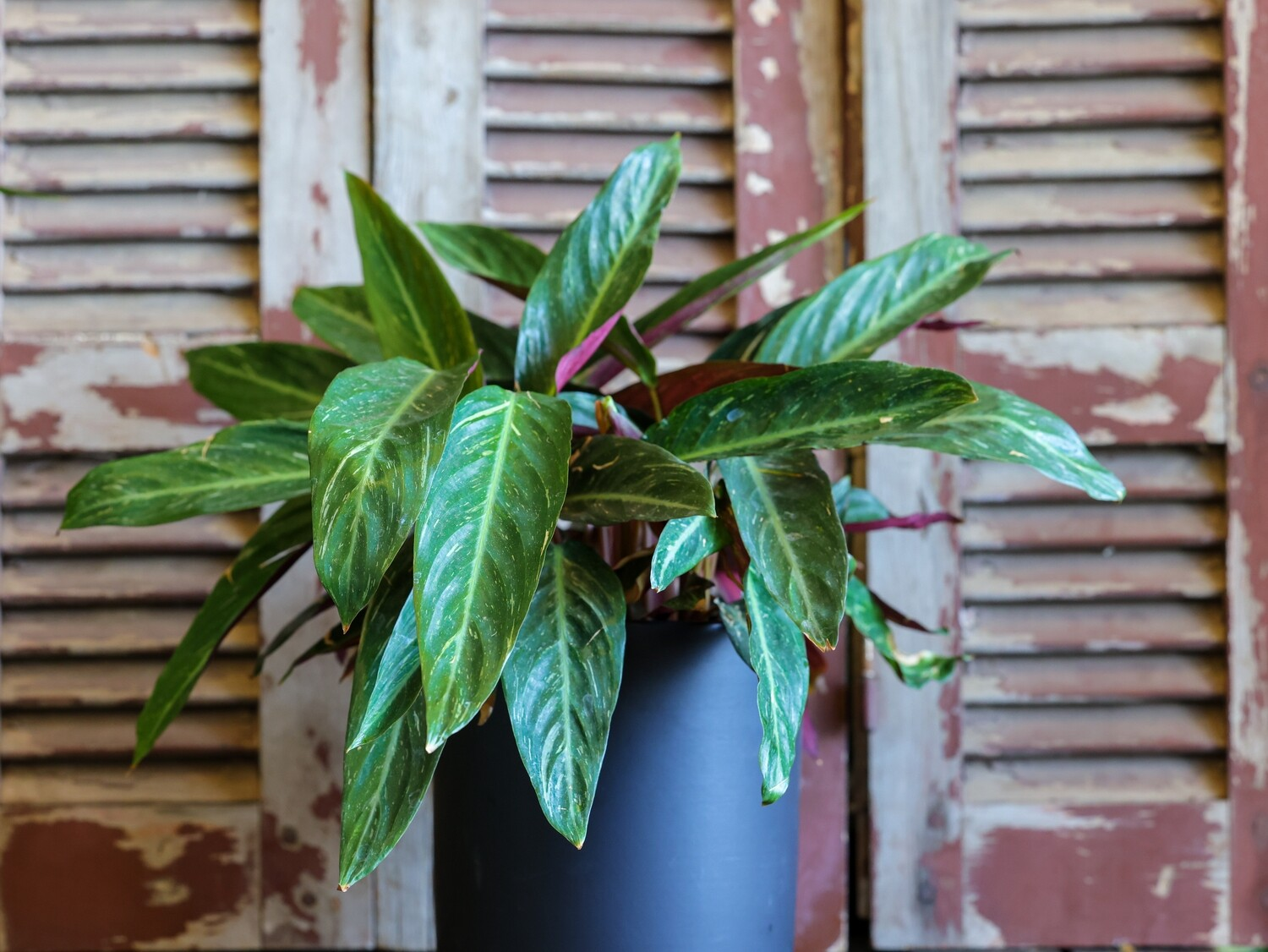 Calathea stromanthe sanguinea (Plant) - Nature by Marc Beyrouthy