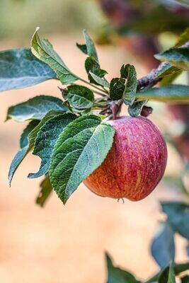 Apple Jezzine (Box) - Les Pommes de Rosette