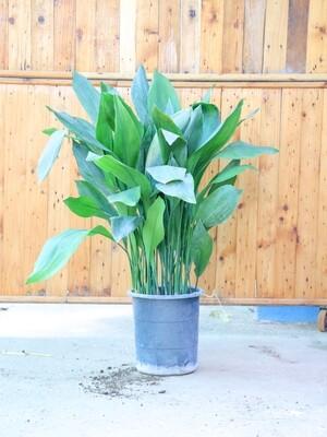 Aspidistra elatior (Plant) - Nature by Marc Beyrouthy