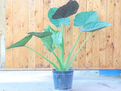 Alocasia cucullata (Plant) - Nature by Marc Beyrouthy