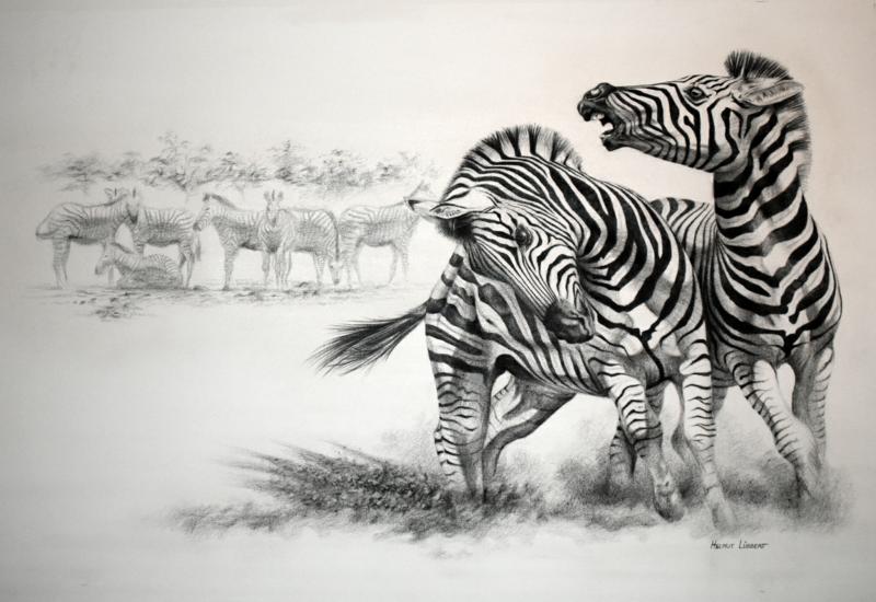 Two Zebras - Conflict
