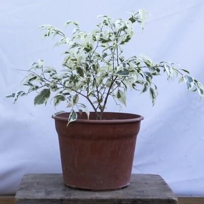 Ficus Variegado