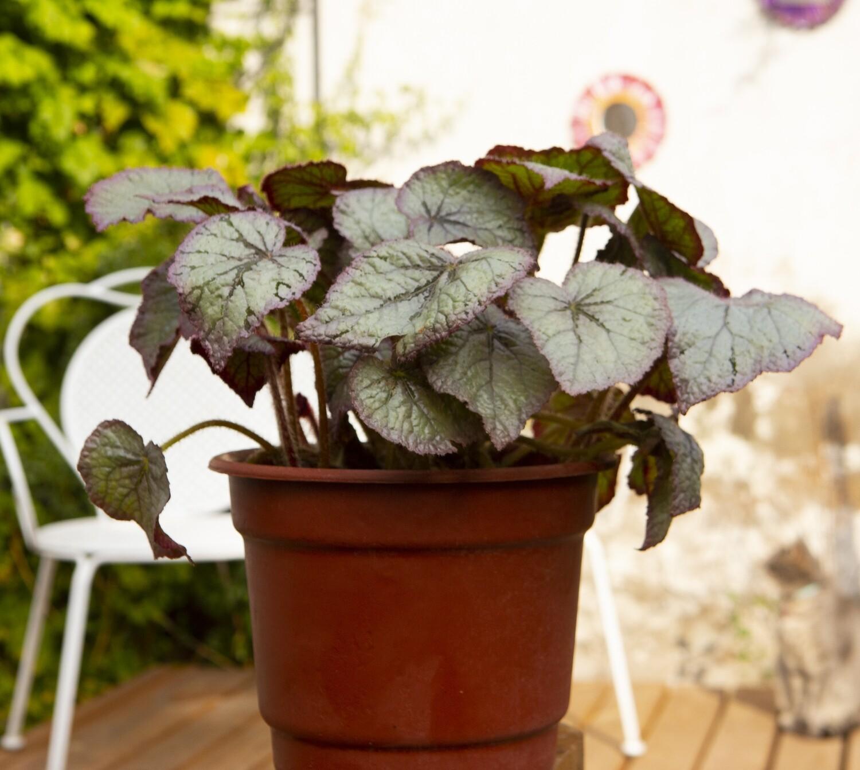 Begonia Rex L