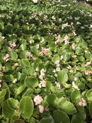 Бегония зелёный лист (розовый цветок)