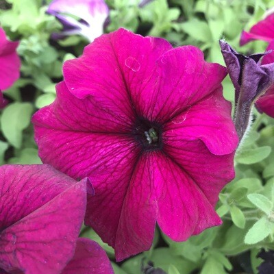 Петуния крупноцветковая Бургунди