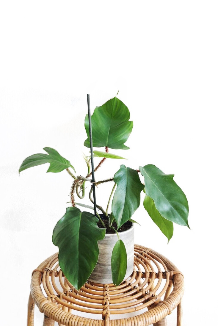 Nukkaköynnösvehka (Philodendron Squamiferum)