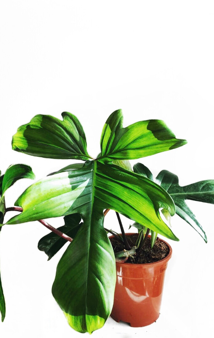 Philodendron 'Florida'