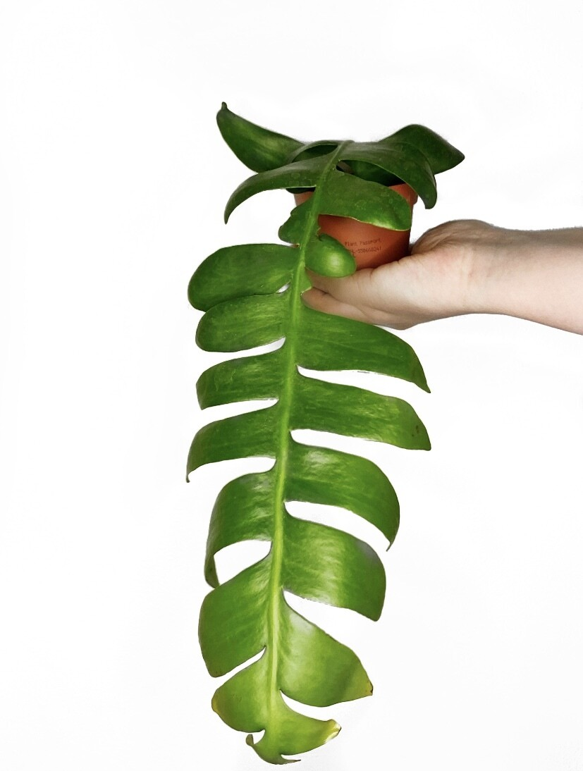 Selenicereus chrysocardium (ent. Epiphyllum)