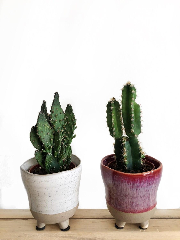 Kaktukset ruukuissa (D)