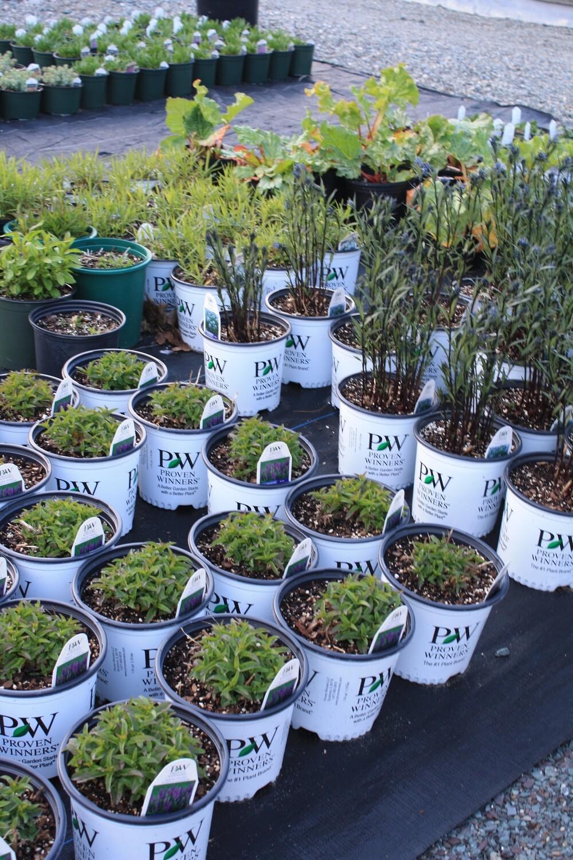 Proven Winner® Perennials ~ Cutting Edge Plant Breeding