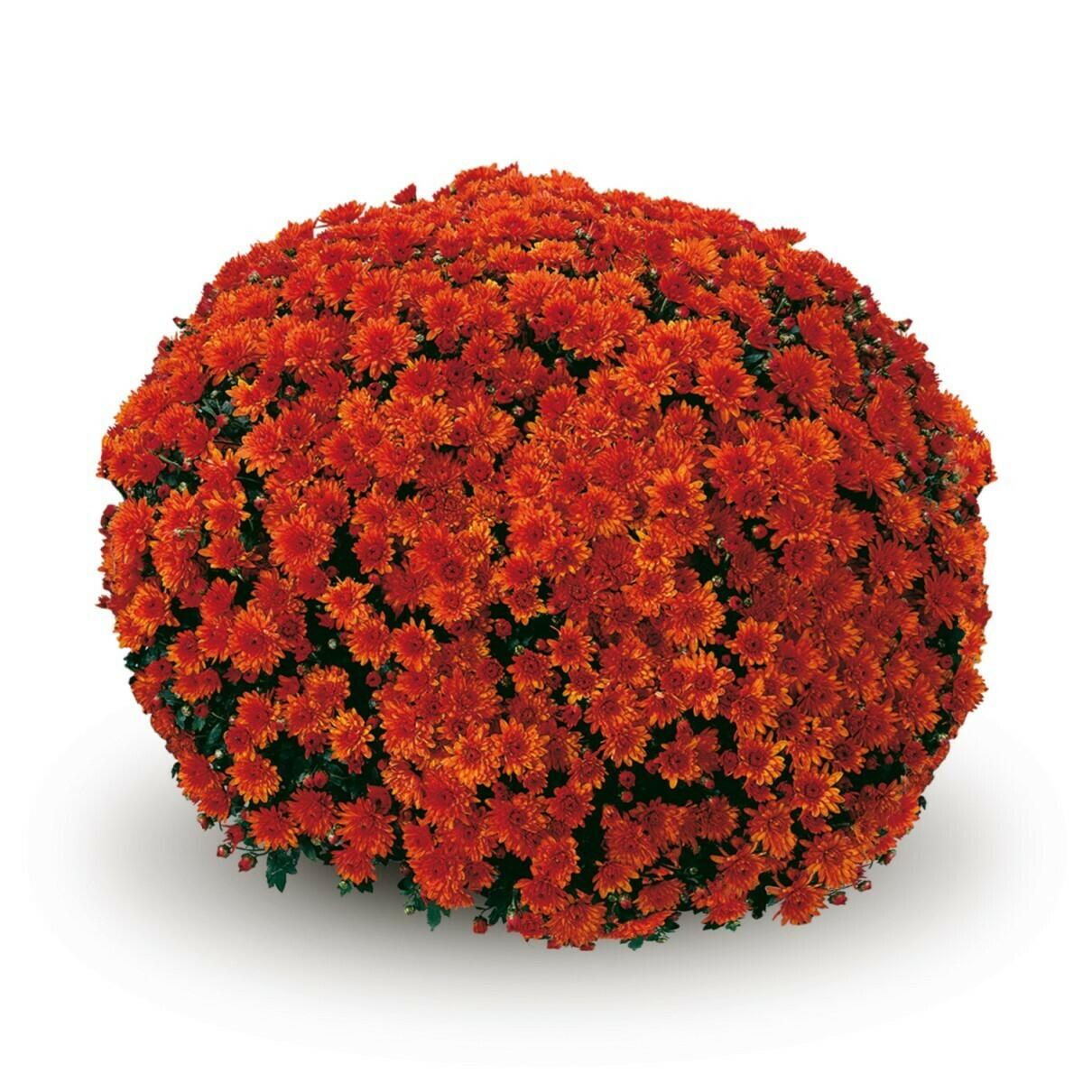 Conaco Orange58-62
