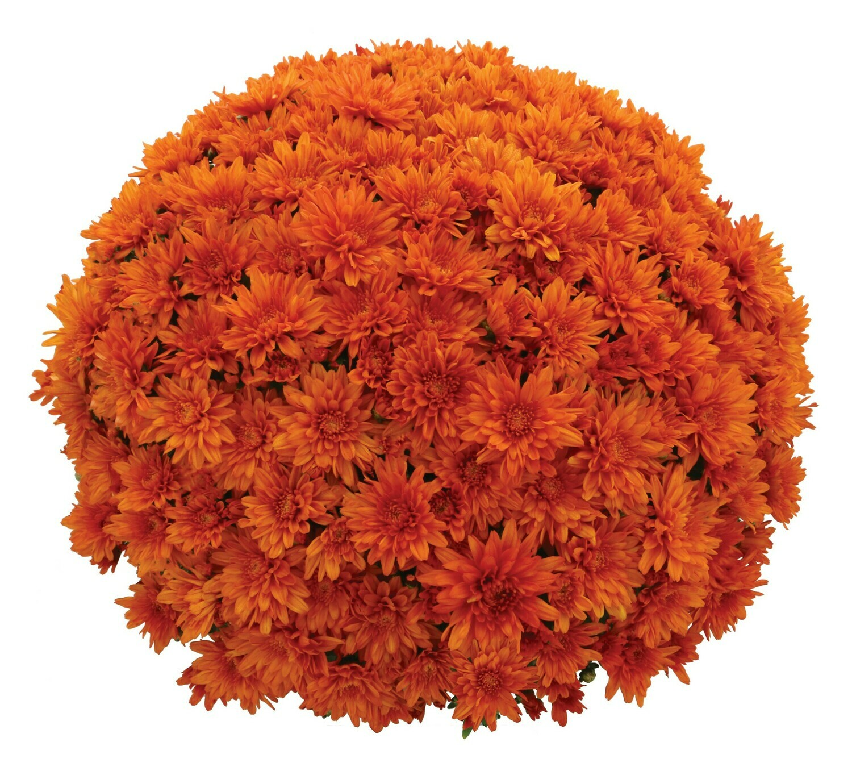 Goal (Magnum) Orange 63-65