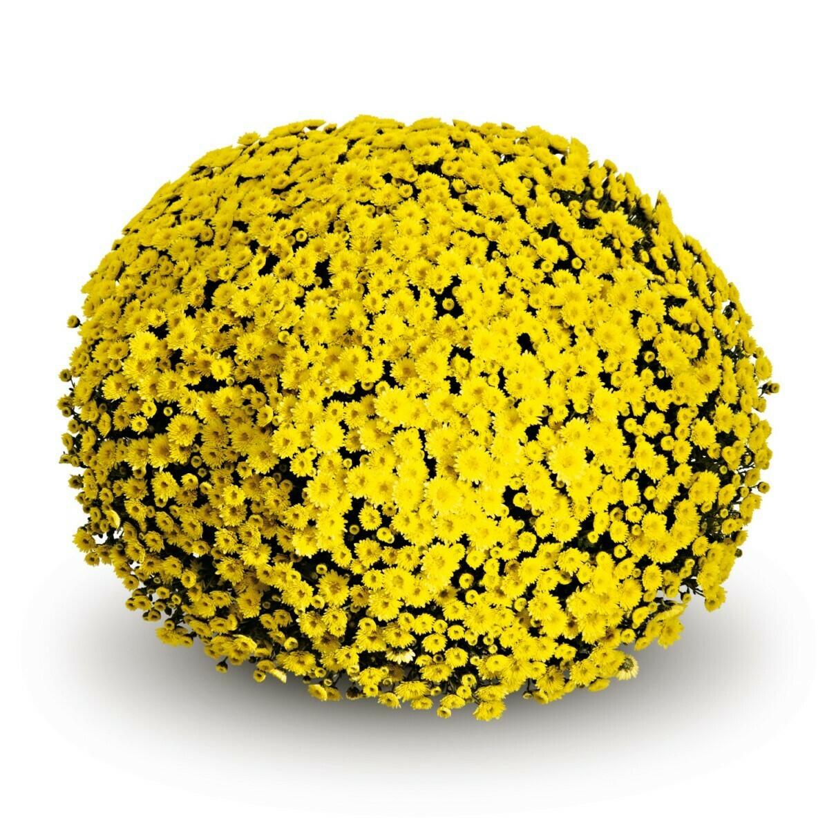 Staviski Yellow FT 23-31