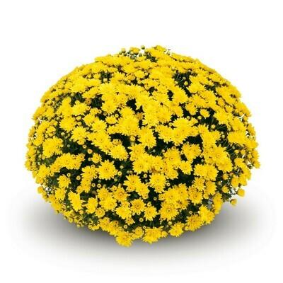 Conaco Yellow 46-50table