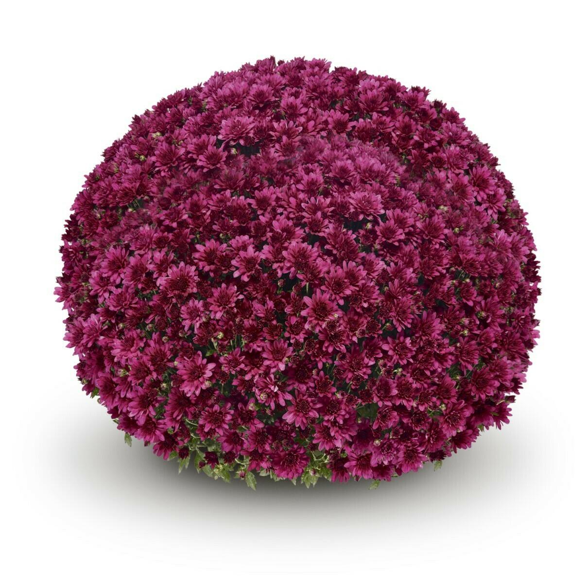 Arluno Purple 70, 76-78