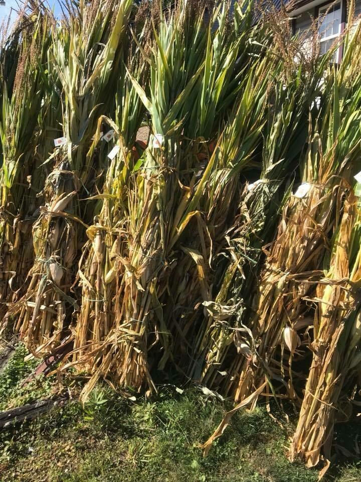 Corn Shock