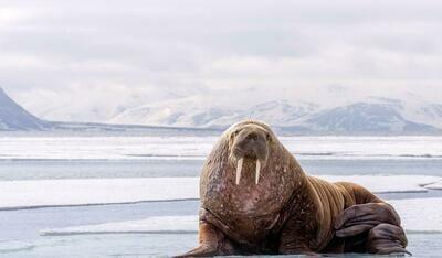 Walrus Safari