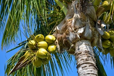 Coconuts - Photography