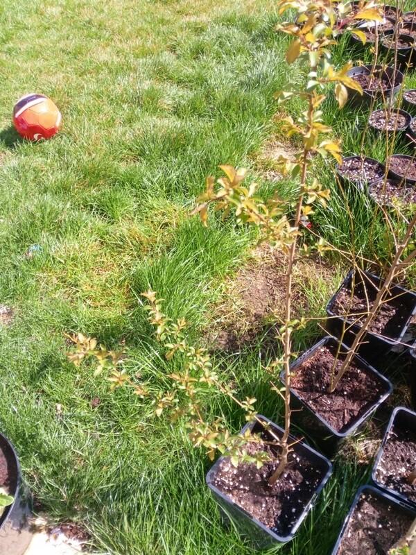 Plum Tree - cherry colour 3.5-4ft