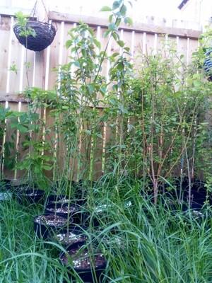 Dogwood 2.5-3ft