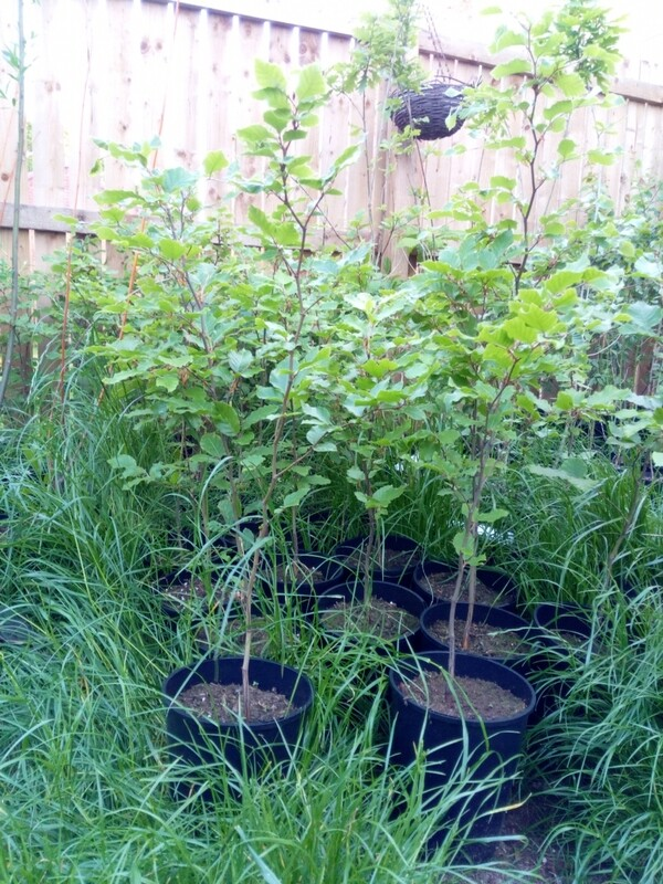 Common Beech tree 2-3ft
