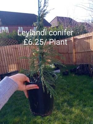 Leylandii 1-2ft