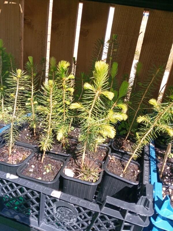 Maritime pine - Pinus Pinaster 0.5-1ft