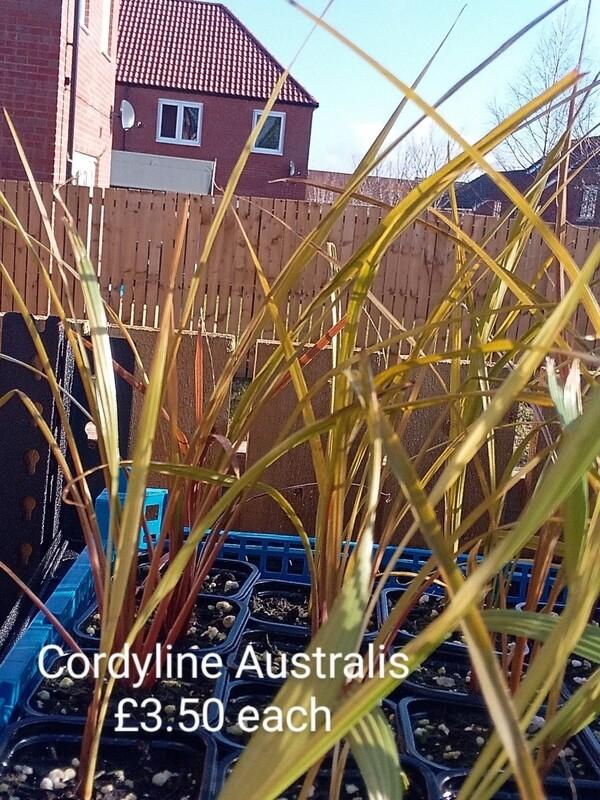 Cordyline Australis 0.5-1ft