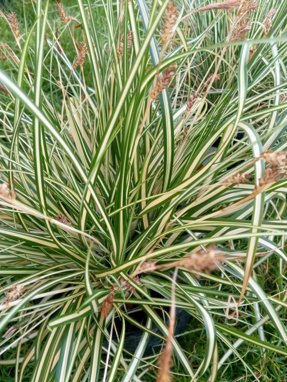 Carex Evergold 2L