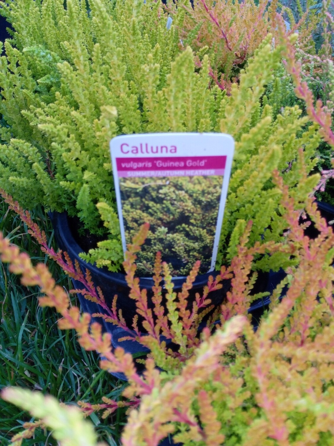 Calluna/Heather