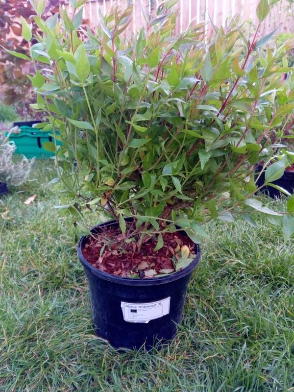 Abelia Grandifolia Sherwood