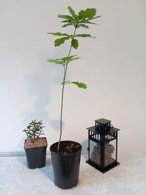 Red Oak Tree  3.5ft