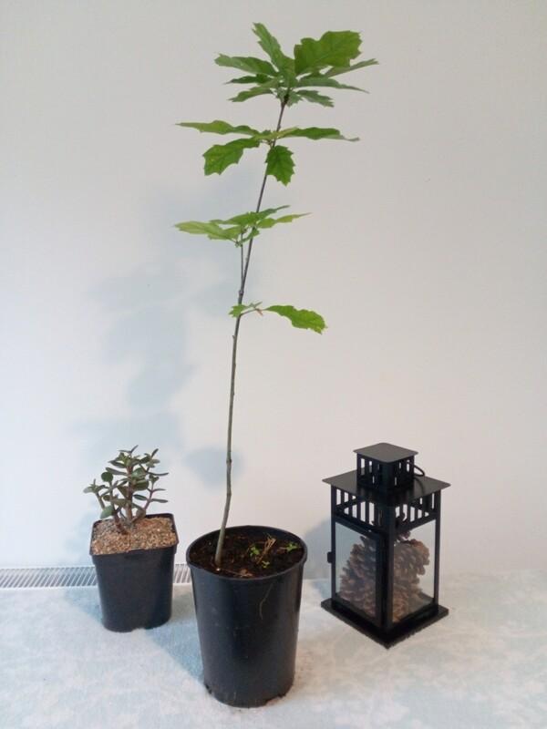 Red Oak Tree Starter 2.5-3ft