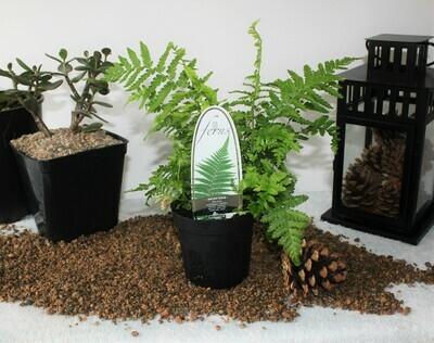 Ferns - various