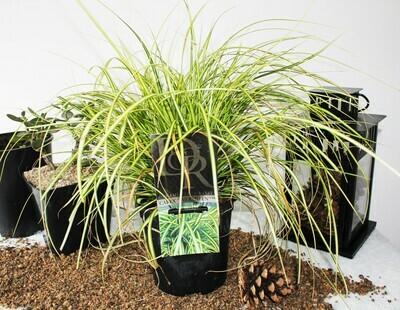 Carex Oshimensis Eversheen