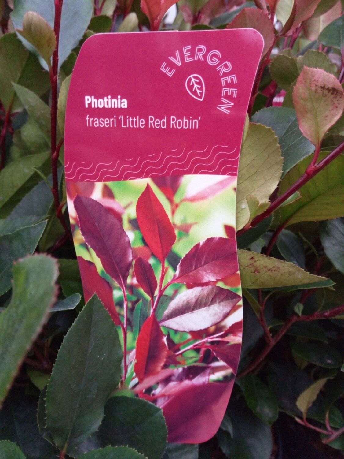 Photinia fras. 'Red Robin' 3L