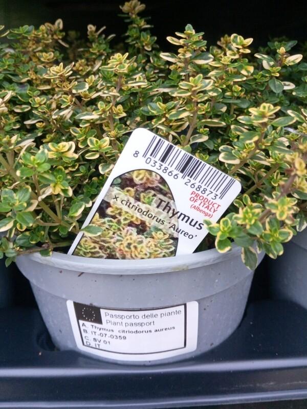 Thyme Citriodorus Aureo (lemon flavor) 14cm pot / 1.5L
