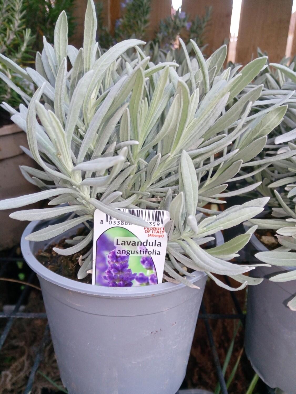 Lavender Angustifolia 1.5L