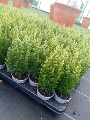 Cypress - Chamaecyparis