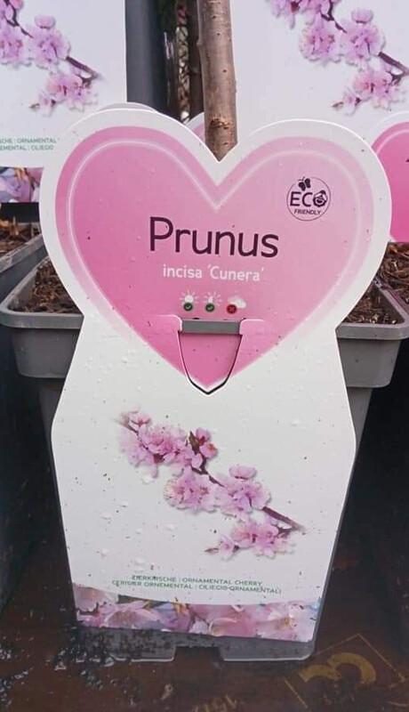 Prunus Incisa 'Cunera'