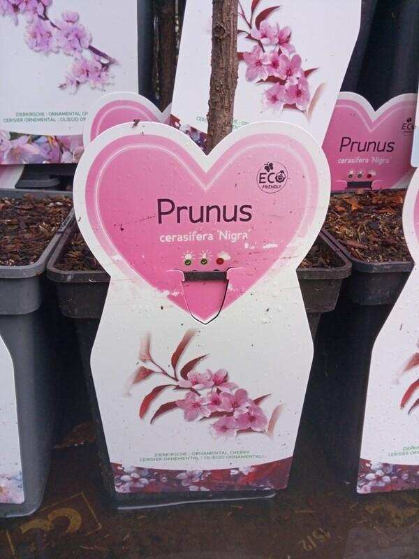 Prunus Cerasifera 'Nigra'