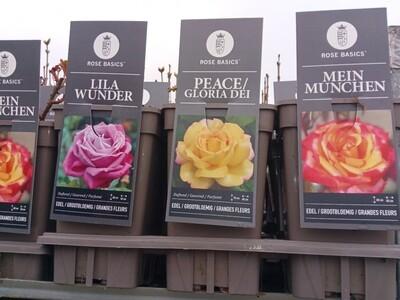 Rose - Mein Munchen