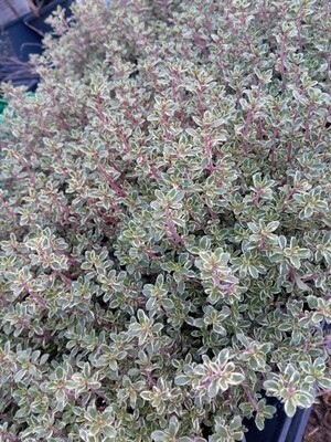 Thyme Silver Queen 1.5L