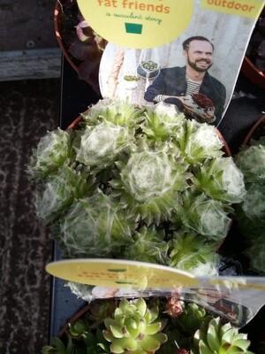 Outdoor Succulent D