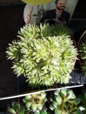Outdoor Succulent C